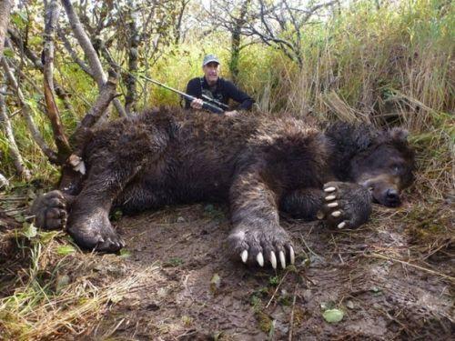 Gambar beruang Kodiak liar