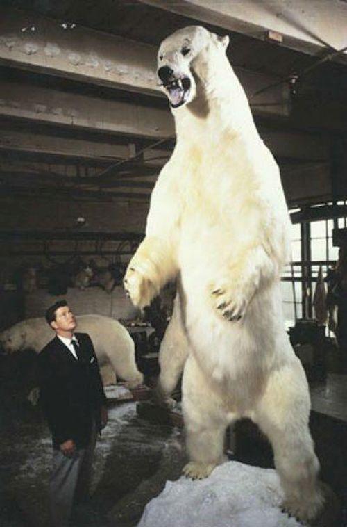 Gambar beruang kutub terbesar