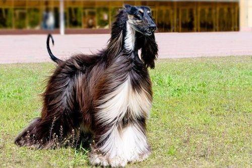 gambar anjing afghan hound