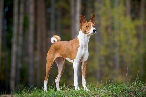 gambar anjing basenji