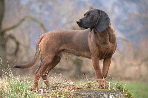 gambar anjing bavarian mountain scenthound