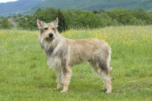 gambar anjing berger picard
