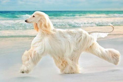 gambar anjing besar afghan hound