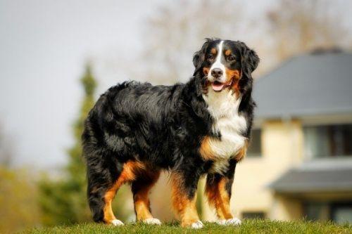 gambar anjing besar bernese mountain dog