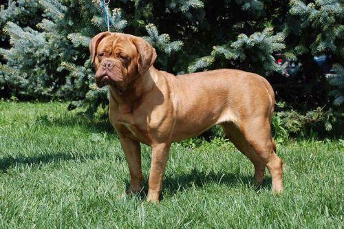 gambar anjing besar dogue de bordeaux