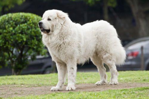 gambar anjing besar great pyrenees