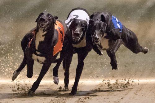gambar anjing besar greyhound