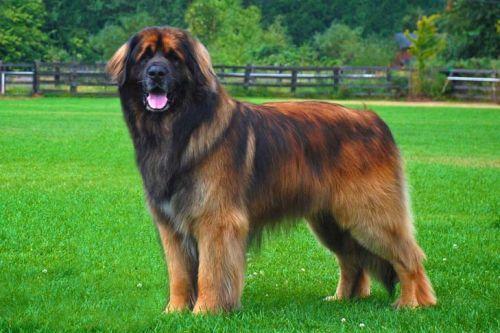 gambar anjing besar leonberger