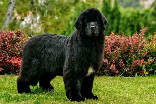 gambar anjing besar newfoundland