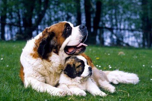 gambar anjing besar saint bernard
