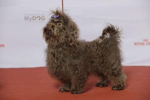 gambar anjing bolonka