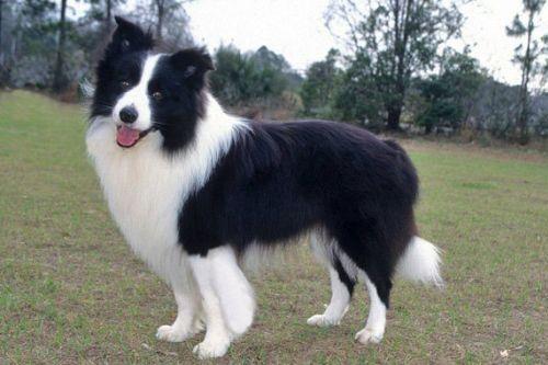 gambar anjing border collie