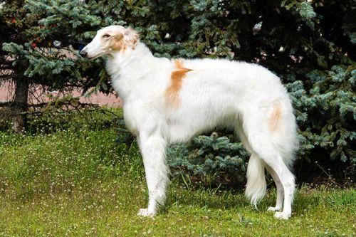 gambar anjing borzoi