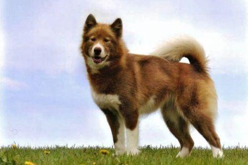 gambar anjing canadian eskimo dog