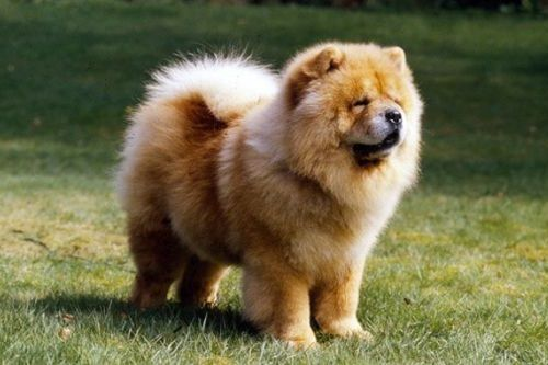 gambar anjing chow chow