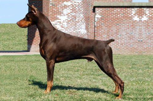 gambar anjing doberman pinscher