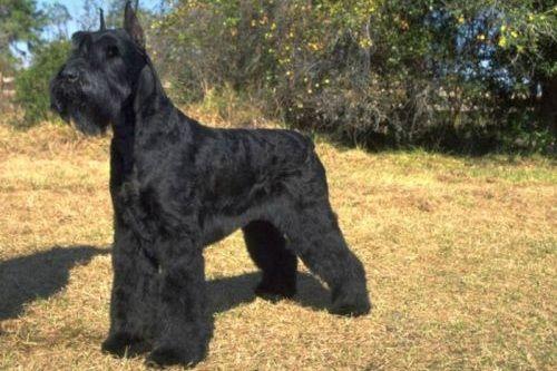 gambar anjing giant schnauzer