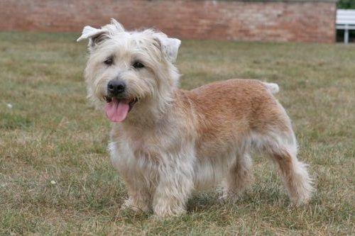 gambar anjing glen of imaal terrier