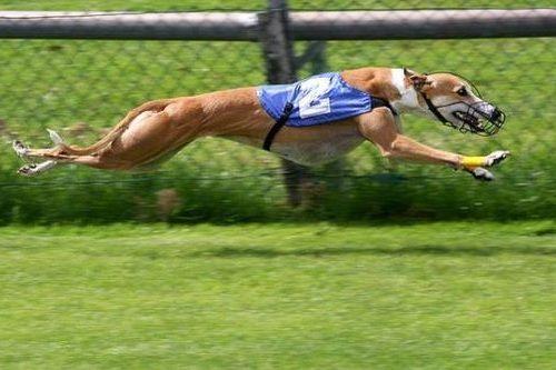 gambar anjing greyhound
