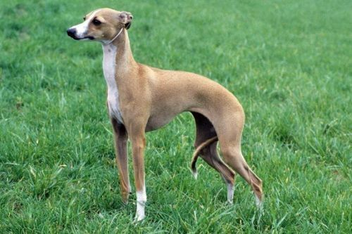 gambar anjing italian greyhound