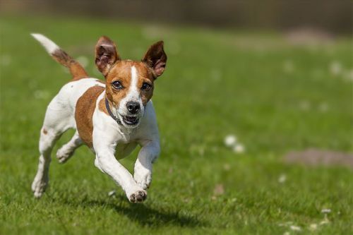 gambar anjing jack russell terrier