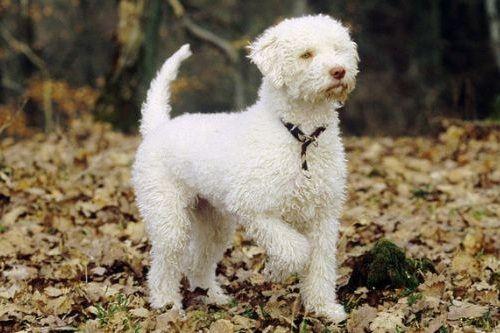 gambar anjing lagotto romagnolo