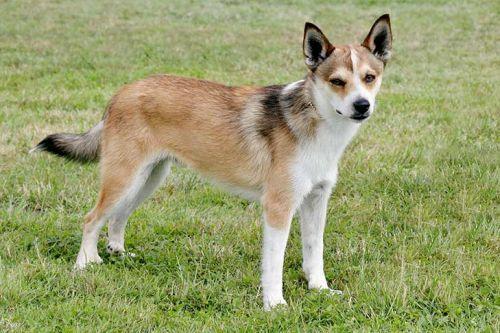 gambar anjing norwegian lundehund