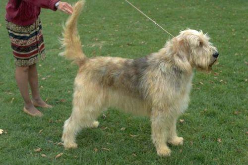 gambar anjing otterhound