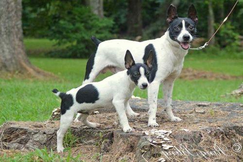 gambar anjing rat terrier