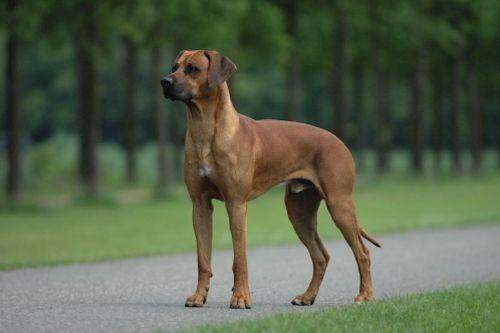 gambar anjing rhodesian ridgeback