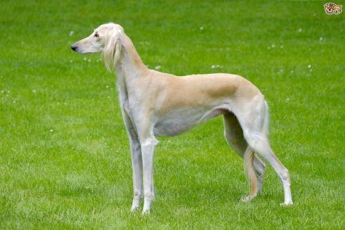 gambar anjing saluki