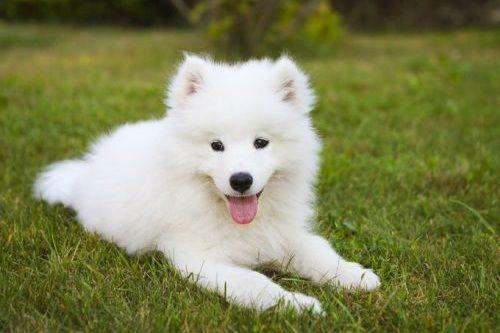 gambar anjing samoyed