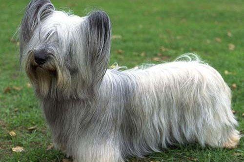 gambar anjing skye terrier