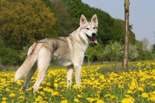 gambar anjing tamaskan dog