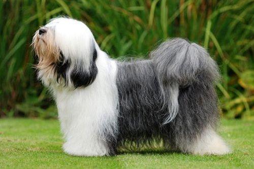 gambar anjing tibetan terrier