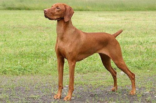 gambar anjing vizsla