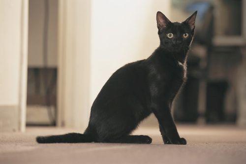gambar kucing american bombay