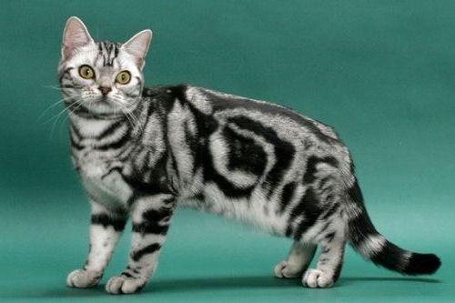 gambar kucing american shorthair