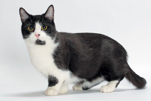 gambar kucing munchkin