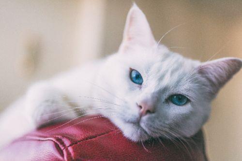 gambar kucing turkish angora